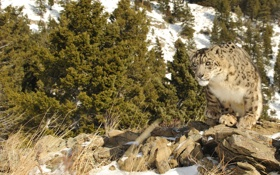 Картинка кошка, снег, природа, камни, ирбис, снежный барс