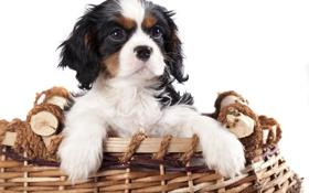 Обои корзина, малыш, щенок, puppy, dog, песик, baby