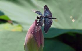 Картинка природа, насекомое, крылья, стрекоза, цветок