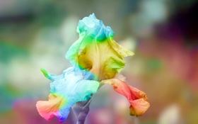 Картинка цветок, rainbow, ирис, iris, радужный ирис, flower of iris