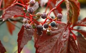 Обои макро, дождь, растение, утро, деревня, пирода, дикий виноград