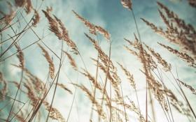 Обои лето, небо, трава, облака, макро, колоски, сухие