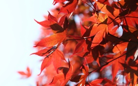 Обои природа, красные листья, веточки