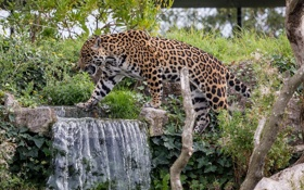 Обои заросли, водопад, хищник, пятна, ягуар, прогулка, дикая кошка