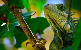 Картинка листья, ветка, ящерица, игуана