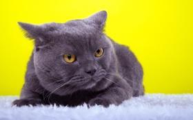 Обои кот, взгляд, животное, ушки, желтый фон, порода