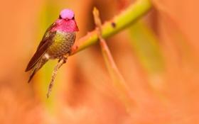 Обои птица, ветка, колибри