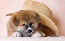 Картинка взгляд, друг, собака, шляпа