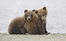 Картинка медведи, Животные, медвежата, гризли