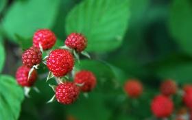 Обои листья, ветка, плоды, малинка