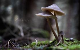 Обои гриб, Мицена чистая, mycena pura