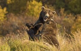 Обои осень, природа, медведи