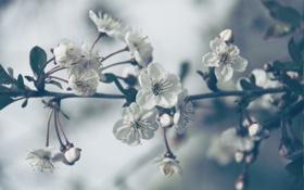 Картинка листья, цветы, ветки, природа, сакура, flowers, лепести
