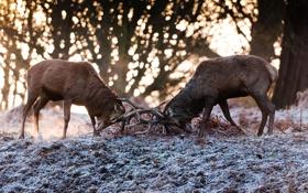 Картинка осень, борьба, пара, рога, олени, поединок