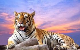 Обои небо, хищник, Тигр