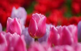 Картинка поле, природа, тюльпаны, розовые, много