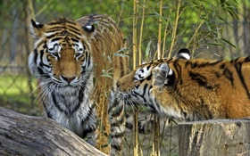 Картинка кошки, тигр, бамбук, пара, профиль, амурский