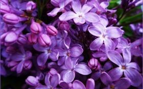 Обои фиолетовый, сирень, сиреневый, май, цветы