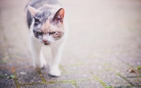 Обои фон, прогулка, кошка