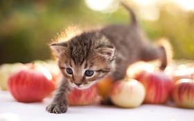 Обои котёнок, шагает, яблоки
