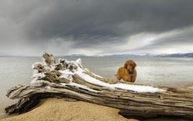 Картинка море, взгляд, друг, собака, бревно