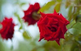 Обои цветок, красное, роза