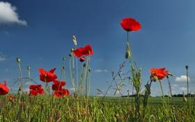 Картинка поле, небо, цветы, растение, маки, луг