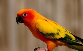 Обои оранжевый, птица, попугай