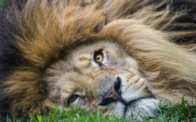 Картинка кошка, трава, морда, лев, грива, ©Tambako The Jaguar