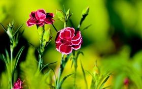 Картинка цветы, яркие, гвоздики