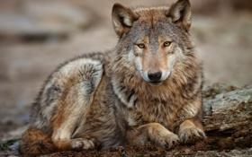 Картинка смотрит, волк, серый, лежит