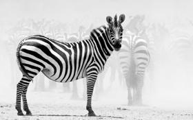 Обои Зебры, Зебра, National Geographic