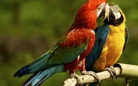 Обои попугаи, парочка, ара