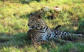 Картинка отдых, Леопард, тень, хищник