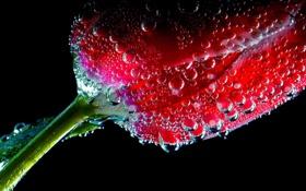 Обои цветок, вода, пузырьки, тюльпан, воздух