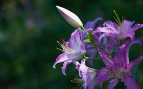 Обои лилия, ветка, лепестки, цветение, фиолетовая, тычинка