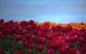 Обои поле, небо, лепестки, тюльпаны