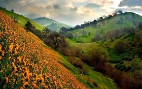 Картинка поле, деревья, пейзаж, цветы, природа, холмы