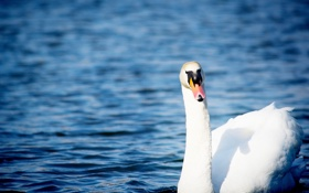 Картинка белый, вода, рябь, грация, лебедь, шея