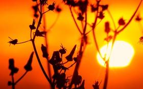 Обои солнце, закат, природа, растение, стебель, сорняк