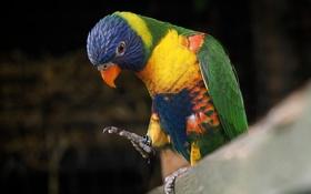 Обои птица, краски, перья, клюв, кольцо, попугай, лапка