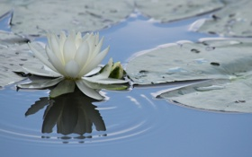 Картинка листья, кувшинка, водяная лилия, природа, отражение, вода
