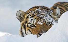 Картинка взгляд, морда, снег, тигр, дикая кошка