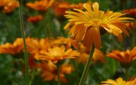 Обои оранжевый, цветы, лето