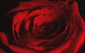 Обои макро, роза, лепестки, красная