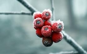 Обои рябина, снег, зима, холода, ягоды