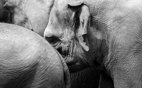 Обои природа, фон, слоны