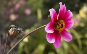 Обои цветок, розовый, размытость, бутон, георгин
