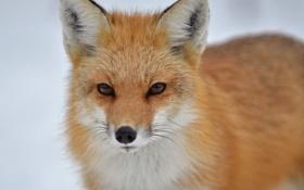 Обои взгляд, морда, лиса, лисица