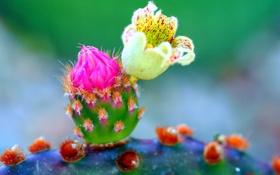 Обои цветок, природа, растение, лепестки, кактус